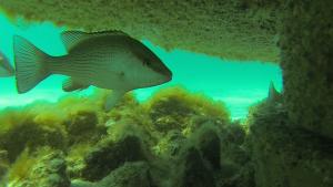South Walton Artificial Reef Association deploys new reefs in Grayton Beach, Florida fall 2015
